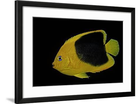 Holacanthus Tricolor (Rock Beauty, Corn Sugar, Coshubba, Rock Beasty, Yellow Nanny)-Paul Starosta-Framed Art Print
