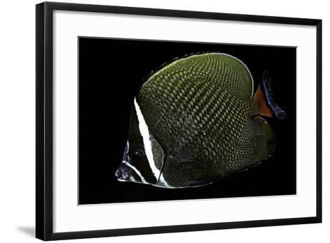 Chaetodon Collare (Redtail Butterflyfish, Collared Butterflyfish)-Paul Starosta-Framed Art Print
