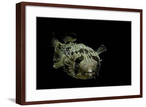 Diodon Holocanthus (Longspined Porcupinefish, Freckled Porcupinefish)-Paul Starosta-Framed Art Print