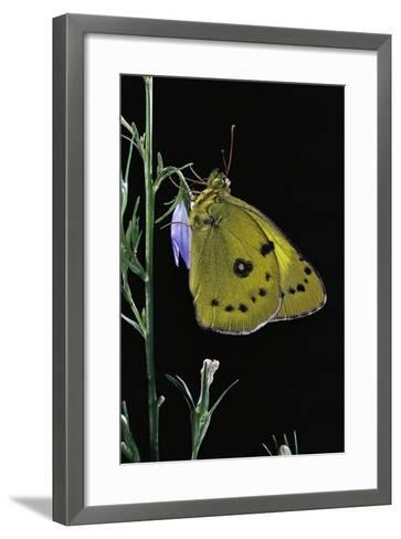 Colias Australis (Berger's Clouded Yellow Butterfly)-Paul Starosta-Framed Art Print
