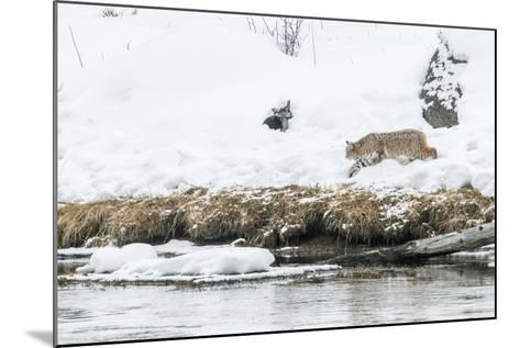 Bobcat Stalking a Muskrat-Rob Tilley-Mounted Photographic Print