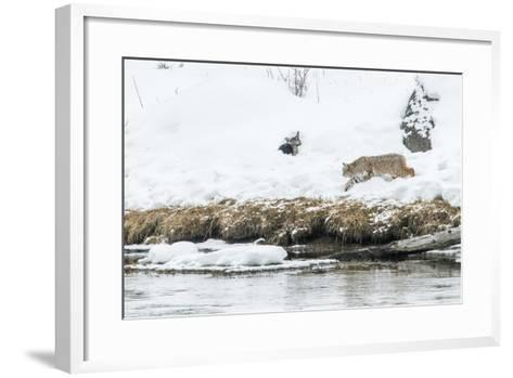 Bobcat Stalking a Muskrat-Rob Tilley-Framed Art Print
