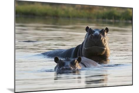Hippopotamuses-Sergio Pitamitz-Mounted Photographic Print