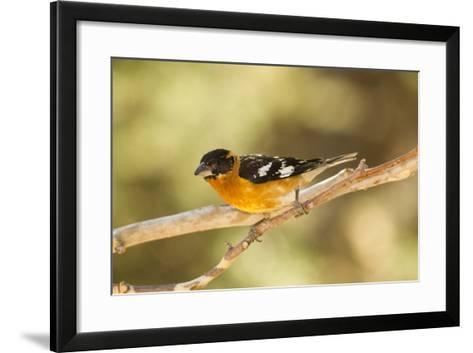Black-Headed Grosbeak-Joe McDonald-Framed Art Print