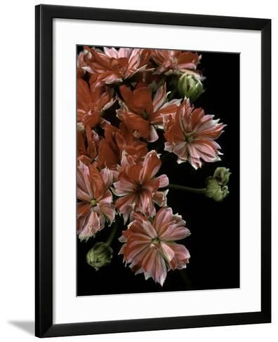 Pelargonium X Hortorum 'Etoile Rambler' (Common Geranium, Garden Geranium, Zonal Geranium)-Paul Starosta-Framed Art Print