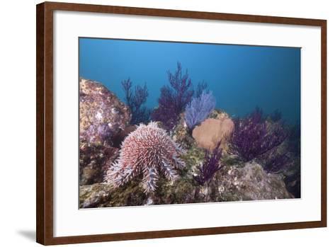 Crown-Of-Thorns Starfish (Acanthaster Planci)-Reinhard Dirscherl-Framed Art Print
