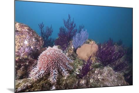 Crown-Of-Thorns Starfish (Acanthaster Planci)-Reinhard Dirscherl-Mounted Photographic Print