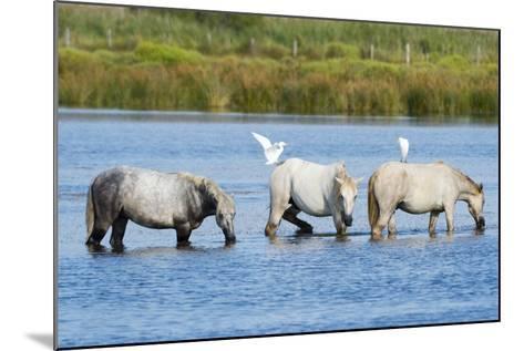 Camargue Wild Horses-Sergio Pitamitz-Mounted Photographic Print