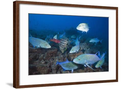 Bluefin Trevally (Caranx Melampygus) and Leather Bass (Dermatolepis Dermatolepis)-Reinhard Dirscherl-Framed Art Print