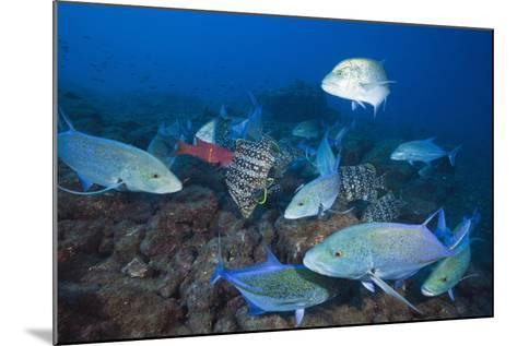Bluefin Trevally (Caranx Melampygus) and Leather Bass (Dermatolepis Dermatolepis)-Reinhard Dirscherl-Mounted Photographic Print