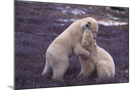 Polar Bears Hugging-DLILLC-Mounted Photographic Print