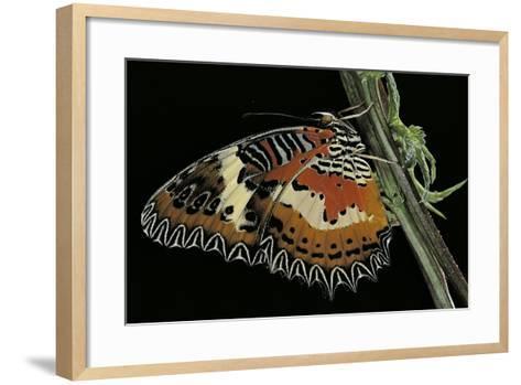Cethosia Hypsea (Malay Lacewing)-Paul Starosta-Framed Art Print