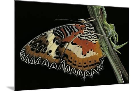 Cethosia Hypsea (Malay Lacewing)-Paul Starosta-Mounted Photographic Print
