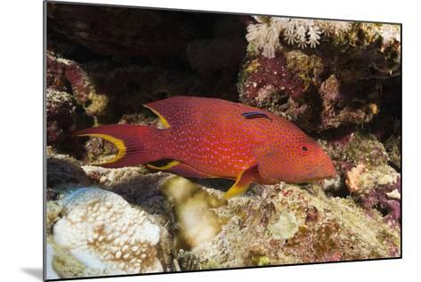 Lyretail Grouper (Variola Louti)-Reinhard Dirscherl-Mounted Photographic Print