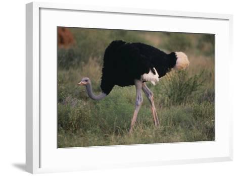 Male Ostrich-DLILLC-Framed Art Print