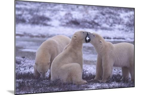 Polar Bears Fighting-DLILLC-Mounted Photographic Print