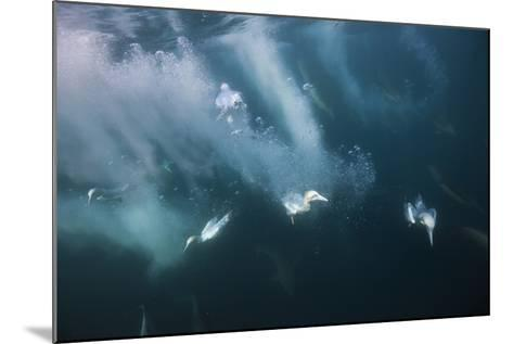 Cape Gannets (Morus Capensis) Diving for Fish-Reinhard Dirscherl-Mounted Photographic Print