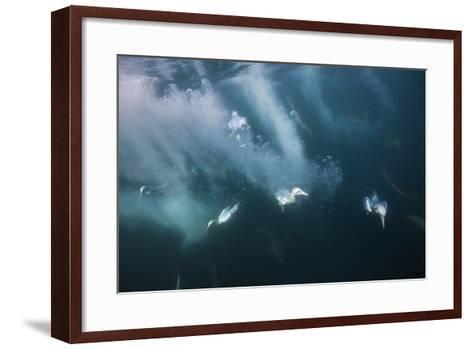 Cape Gannets (Morus Capensis) Diving for Fish-Reinhard Dirscherl-Framed Art Print