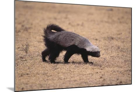Ratel, or Honey Badger-DLILLC-Mounted Photographic Print