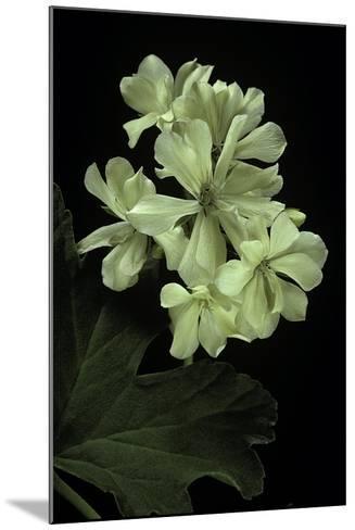 Pelargonium X Hortorum 'Kees' (Common Geranium, Garden Geranium, Zonal Geranium)-Paul Starosta-Mounted Photographic Print