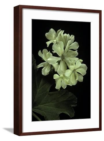 Pelargonium X Hortorum 'Kees' (Common Geranium, Garden Geranium, Zonal Geranium)-Paul Starosta-Framed Art Print