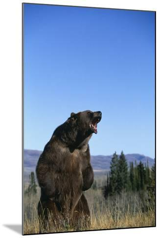 Grizzly Roaring in Field-DLILLC-Mounted Photographic Print
