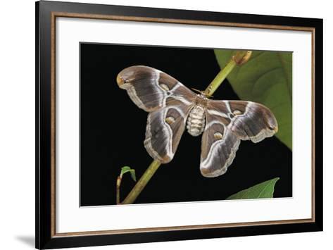 Samia Cynthia Ricini (Indian Eri Silkmoth)-Paul Starosta-Framed Art Print