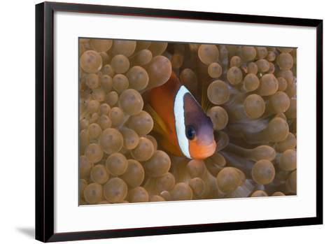 Tomato Anemonefish (Amphiprion Frenatus)-Reinhard Dirscherl-Framed Art Print