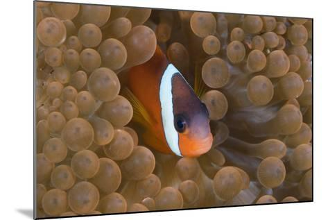 Tomato Anemonefish (Amphiprion Frenatus)-Reinhard Dirscherl-Mounted Photographic Print