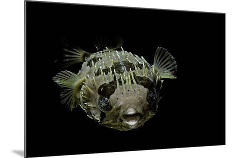 Diodon Holocanthus (Longspined Porcupinefish, Freckled Porcupinefish)-Paul Starosta-Mounted Photographic Print