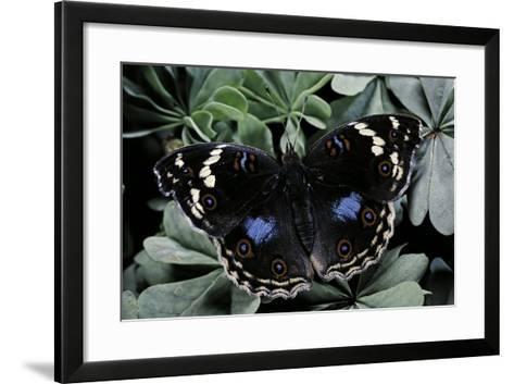 Junonia Oenone (Dark Blue Pansy)-Paul Starosta-Framed Art Print