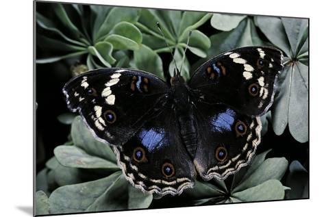 Junonia Oenone (Dark Blue Pansy)-Paul Starosta-Mounted Photographic Print