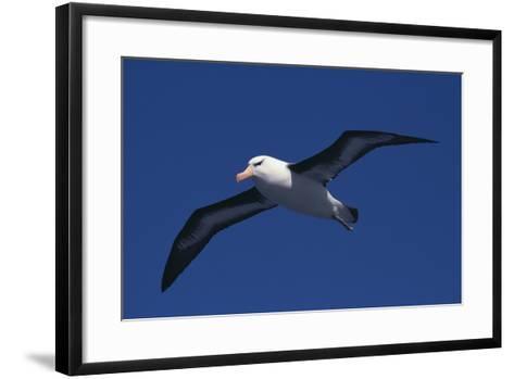 Black-Browed Albatross Flying-DLILLC-Framed Art Print