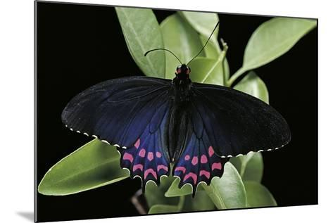 Parides Photinus (Pink-Spotted Cattleheart)-Paul Starosta-Mounted Photographic Print