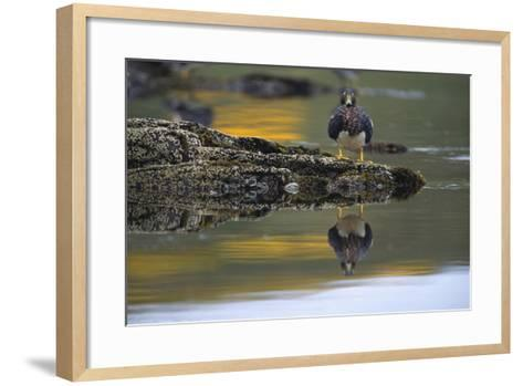Falkland Steamerduck on Rocks-DLILLC-Framed Art Print