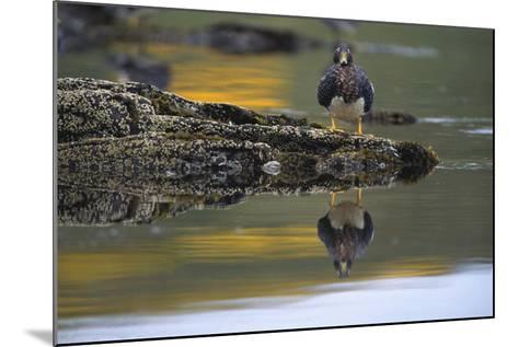 Falkland Steamerduck on Rocks-DLILLC-Mounted Photographic Print