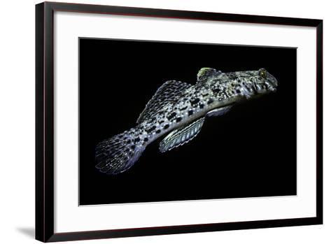 Istigobius Ornatus (Ornate Goby, Ornate Sandgoby)-Paul Starosta-Framed Art Print