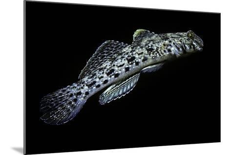 Istigobius Ornatus (Ornate Goby, Ornate Sandgoby)-Paul Starosta-Mounted Photographic Print