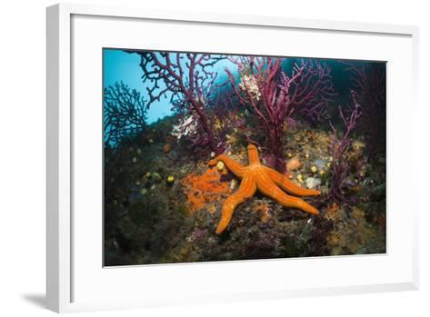 Red Starfish on a Coral Reef (Echinaster Sepositus), Cap De Creus, Costa Brava, Spain-Reinhard Dirscherl-Framed Art Print