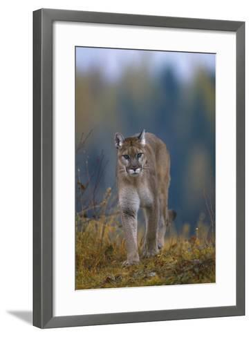 Cougar in Autumn-DLILLC-Framed Art Print