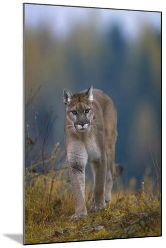 Cougar in Autumn-DLILLC-Mounted Photographic Print