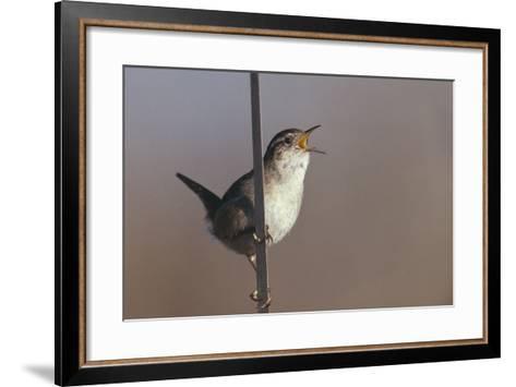 Marsh Wren Singing-DLILLC-Framed Art Print