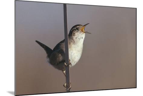 Marsh Wren Singing-DLILLC-Mounted Photographic Print