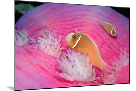 Pink Anemonefishes in a Sea Anemone (Amphiprion Perideraion), Pacific Ocean.-Reinhard Dirscherl-Mounted Photographic Print