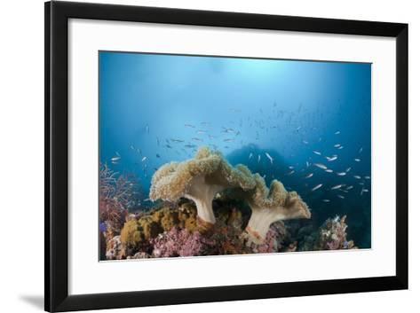 Mushroom Soft Corals (Sarcophyton), Raja Ampat, West Papua, Indonesia-Reinhard Dirscherl-Framed Art Print