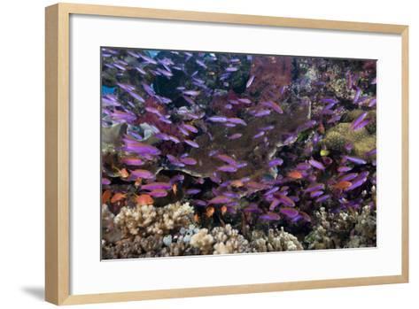 Slender Basslet School in Coral Reef (Luzonichthys Whitleyi)-Reinhard Dirscherl-Framed Art Print