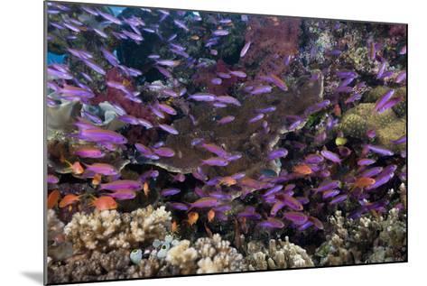 Slender Basslet School in Coral Reef (Luzonichthys Whitleyi)-Reinhard Dirscherl-Mounted Photographic Print
