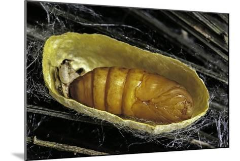 Bombyx Mori (Common Silkmoth) - Pupa inside the Cocoon-Paul Starosta-Mounted Photographic Print