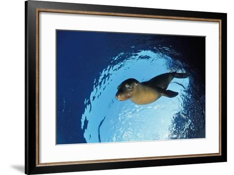 Californian Sea Lion, Zalophus Californianus, Mexico, Sea of Cortez, Baja California, La Paz-Reinhard Dirscherl-Framed Art Print