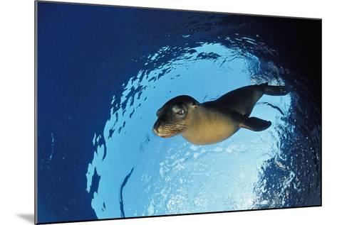 Californian Sea Lion, Zalophus Californianus, Mexico, Sea of Cortez, Baja California, La Paz-Reinhard Dirscherl-Mounted Photographic Print
